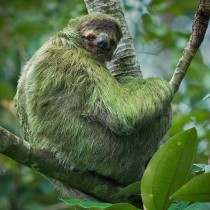 three_toed_sloth_11