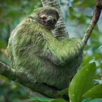 three_toed_sloth_11