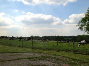 Tibhall cows
